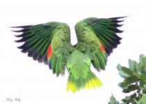 Red-crowned-Parrot_4417