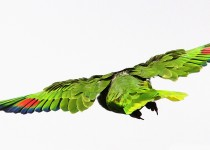 Red-crowned-Parrot_4422