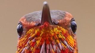 Rufous-Hummingbird-upclose-320x180