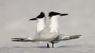 Sandwich-Terns