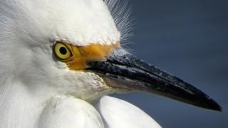 Snowy Egret_320x180
