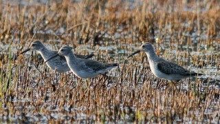Stilt-Sandpipers