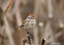 Tree-Sparrow-best