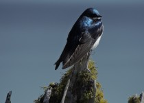 Tree-Swallow1