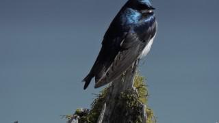 Tree-Swallow1