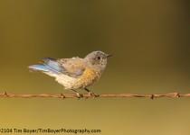 Western-Bluebird-3381