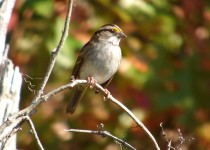 White-Throat-Sparrow