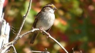 White-Throat-Sparrow