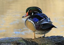 Wood_Duck_Small