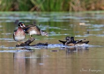 Wood_Ducks_Small