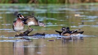Wood_Ducks_Small