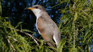 Yellow-billed-Cuckoo-320x180
