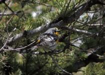 Yellow-rumped-Warbler