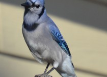 bluejays...9-24-14-049