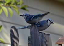 bluejays...9-24-14-085