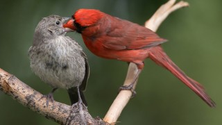 Northern Cardinal and Brown-headed Cowbird ©2014 Robert Visconti