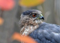 coopershawk0144-copy