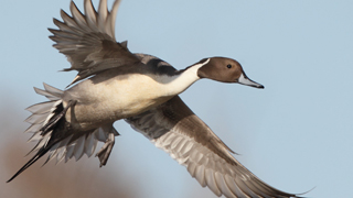 ducks-320