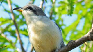 mangrove-cuckoo-320