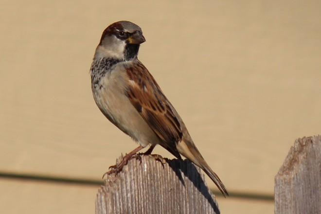 House Sparrow by Cheryl Keyse