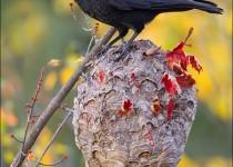tn_American-Crow_4807-1