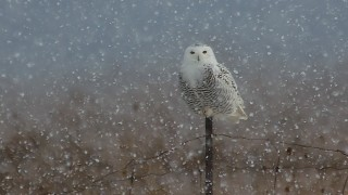 Snowy Owl ©2014 Paul O'Toole
