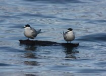 Aleutian-Terns-on-a-floating-log-1