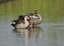 Ashok-Indian Spot-billed Duck
