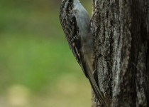 Brown-creeper