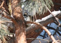 Californai-Quail-in-tree