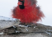 Cardinal-on-a-blustery-day