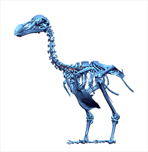 The 3-D scan of the Thirioux Dodo skeleton. Image courtesy of Leon Claessens and the Mauritius Museums Council