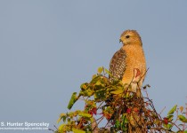 DSC0017-Red-shouldered-Hawk