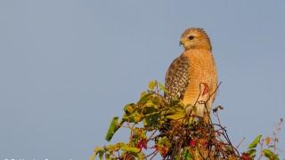 DSC0017-Red-shouldered-Hawk