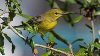 DSC0022-Pine-Warbler