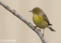 DSC0023-Pine-Warbler