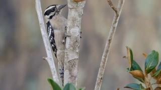 DSC0055-Downy-Woodpecker
