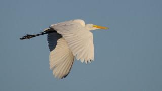 DSC0062-Great-Egret