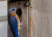 DSC0113-Eastern-Bluebird