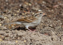 DSC0130-Chipping-Sparrow