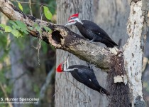 DSC0185-Pileated-Woodpeckers