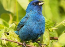 Indigo Bunting and Insect