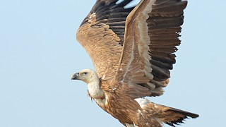 DSC_1870-Griffon-Vualture-Phtographed-by-Bhasmang-Mehta-India