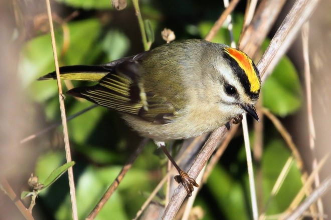 Gold-crowned-Kinglet-660x440