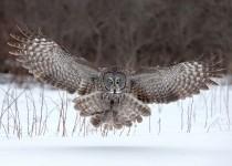 Great-Gray-Owl-Landing