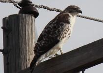 Hawk-birds-11-10-14-016a
