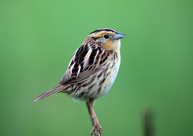 Contributing Editor Laura Erickson photographed this Le Conte's Sparrow in her in-laws' driveway in Port Wing.