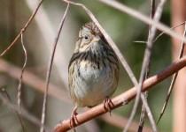 Lincoln-Sparrow2