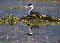 NestingWesternGrebe_LundyLake_LRminimumprocess1