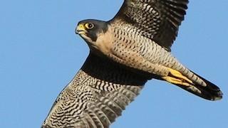 Peregrine Falcon_320x180